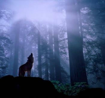 a wolf bristles under the chill night air